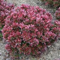 Барбарис Тунберга Atropurpurea nana (2-4 л)