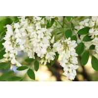 Экстракт цветков акации белой купить недорого