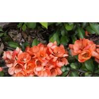 Хеномелес Orange Star (2-4 л)