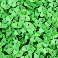 Мікрозелень «Базилік зелений» за 10 г