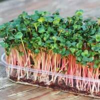 Мікрозелень «Рукола» (ЕМК-11) за 10 г