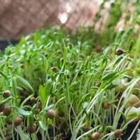 Мікрозелень «Кінза» (ЕМК-7) за 10 г