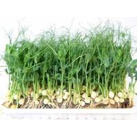 Мікрозелень «Горох» (ЕМК-13) за 10 г