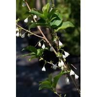 Галезия каролинская Halesia carolina купить недорого