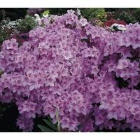 Азалия японская Ledicanense 3 годовая, Азалия японская Ledicanense, Rhododendron / Azalea japonica Ledicanense