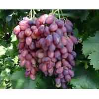 Виноград Ася (ІВН-91)