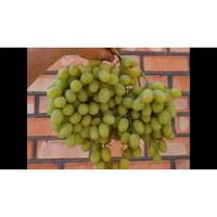 Виноград Іларія (ІВН-90)