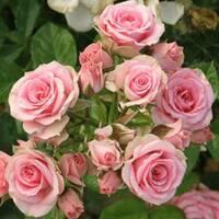 Саджанці троянд спрей
