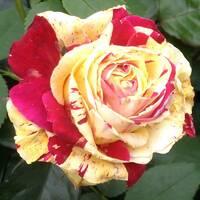 Троянда Плетиста Ваніль Фрез (ІТЯ-374)