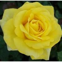 Троянда чайно-гібридна Кьорн (ІТЯ-350)