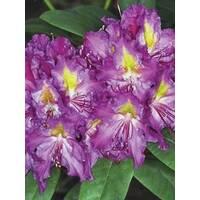 Рододендрон гибридный Libretto 2 годовой, Рододендрон гибридный Либретто, Rhododendron Libretto