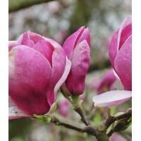 Магнолия Суланжа Lombardy Rose 2 годовая, Магнолия Суланжа Ломбарды Роуз, Magnolia X soulangeana Lombardy Rose