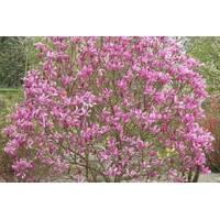 Магнолия гибридная Susan 2 годовая, Магнолия гибридная Сюзан / Сузан, Magnolia hibrida / hybrids Susan