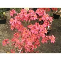 Рододендрон листопадный Juanita 3 годовой, Рододендрон листопадный Джуанита, Rhododendron Juanita
