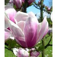 Магнолия Суланжа Alexandrina 80-100см, Магнолия Суланжа Александра, Magnolia x Soulangeana Alexandrа