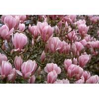 Магнолия Суланжа Розовая 0.5м, Магнолия Суланжа Розовая, Magnolia X soulangeana