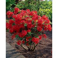 Рододендрон листопадний Nabucco 3 річний, Рододендрон листопадный Набукко, Rhododendron Nabucco