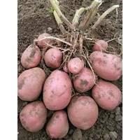 Картопля Белла Роза за 2 кг (ІКР–9-2)