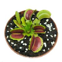 Растения Хищник Венерина мухоловка Дентата AlienPlants Dionaea muscipula Dentate размер M