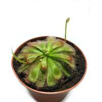 Растение хищник Росянка Алисиа AlienPlants Drosera Aliciae размер М горшок 9 см
