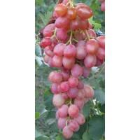 Виноград Юбилей херсонского дачника (ОКН-2622) за 2-4 л