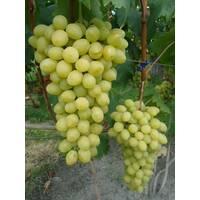 Виноград Слава Украине (ОКН-2620) за 2-4 л