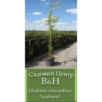 Гледичия трехколючковая (Gleditsia-triacanthos-'Черный')