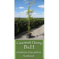 Гледичія триколючкова (Gleditsia-triacanthos-'Sunburst')
