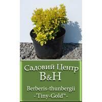 Барбарис тунберга (Berberis thunbergii Tiny-Gold)