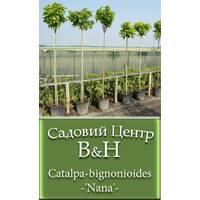 Катальпа бигнониевидная (Catalpa bignonioides Nana)
