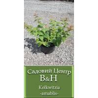 Кольквиция прелестная (Kolkwitzia amablis)