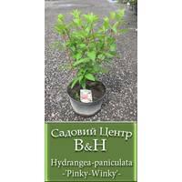 Гортензия метельчатая  (Hydrangea paniculata Pinky Winky)