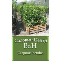 Граб звичайний (Carpinus betulus)