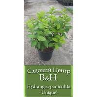 Гортензия метельчатая (Hydrangea paniculata Unique)