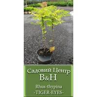 Оцтове дерево (Rhus thypina TIGER EYES)