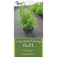 Дейція прекрасна  (Deutzia magnifica)