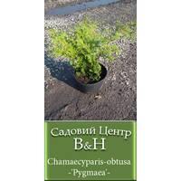 """Кипарисовик тупий """"Пігмея"""" (Chamaecyparis obtusa Pygmaea)"""