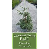 Яліна звічайна Акрокона (Picea abies Acrocona)