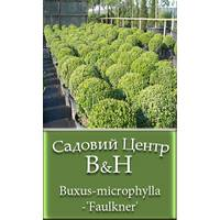 Самшит мелколистный Фаулкнер (Buxus-microphylla-'Faulkner')
