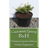 Кипарисовик (Chamaecyparis obtusa White Pygmaea)
