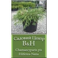 Кипарисовик горохоплiдний (Chamaecyparis pis Filiferea-Nana)