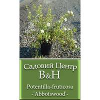 Лапчатка кустарниковая Aбботсвуд (Potentilla fruticosa Abbotswood)