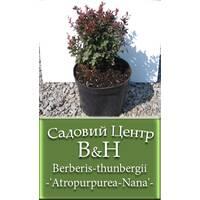 Барбарис тунберга (Berberis thunbergii Atropurpurea Nana)