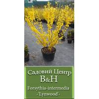Форзиція проміжна (Forsythia intermedia Lynwood)