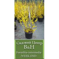 Форзиція проміжна (Forsythia intermedia WEEK END)
