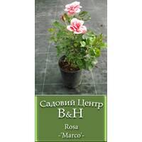 Троянди (  різних сортів)