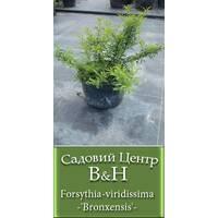 Форзиція вірідіссіма (Forsythia viridissima Bronxensis)