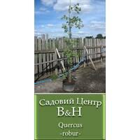 Дуб обыкновенный (Quercus robur)