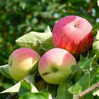 Саженцы яблони Мелба