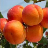 Саженцы абрикоса Хар Гранд